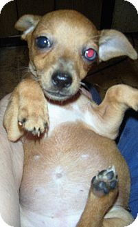 Dachshund/Chihuahua Mix Puppy for adoption in Mansfield, Texas - Davey