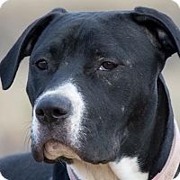 Adopt A Pet :: Shiloh - Broken Arrow, OK