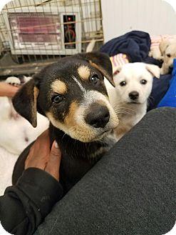 Blue Heeler/German Shepherd Dog Mix Puppy for adoption in farmingville, New York - Bubba