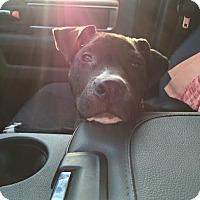 Adopt A Pet :: Remington - New Milford, CT