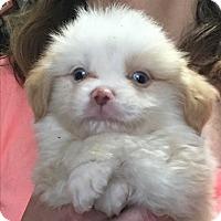 Adopt A Pet :: Bear - Parker, KS