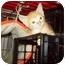 Photo 1 - Domestic Shorthair Kitten for adoption in Little Neck, New York - sunshine