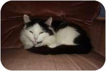 Domestic Mediumhair Kitten for adoption in Delmont, Pennsylvania - Baby