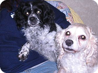 """Cocker Spaniel Mix Dog for adoption in New Castle, Pennsylvania - """" Ginger and Precious """""""