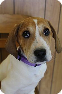 Beagle/Labrador Retriever Mix Puppy for adoption in Bedminster, New Jersey - Scamp