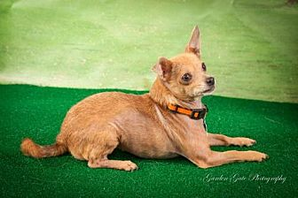 Chihuahua Dog for adoption in Elizabethtown, Pennsylvania - Lilly Lancaster