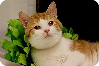 Domestic Shorthair Cat for adoption in Owenboro, Kentucky - TITAN