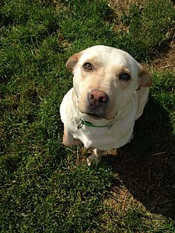 Labrador Retriever Mix Dog for adoption in Morris, Illinois - BASHA