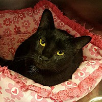 Domestic Shorthair Cat for adoption in Goshen, New York - Phantom