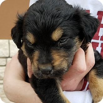 Shepherd (Unknown Type) Mix Puppy for adoption in White Settlement, Texas - Larry