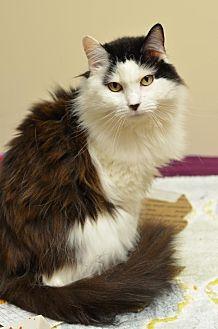 Domestic Shorthair Cat for adoption in Atlanta, Georgia - KitKat  170034