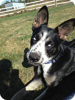 Cattle Dog Mix Dog for adoption in Bellingham, Washington - Dizzy