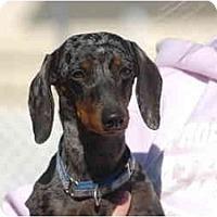 Adopt A Pet :: Paisley - Ft. Myers, FL