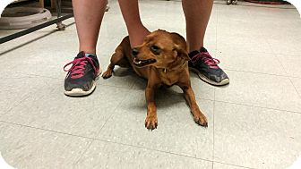 Miniature Pinscher/Terrier (Unknown Type, Small) Mix Dog for adoption in Indianola, Iowa - Jackie