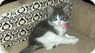 Domestic Mediumhair Kitten for adoption in Washington, North Carolina - GRACIE