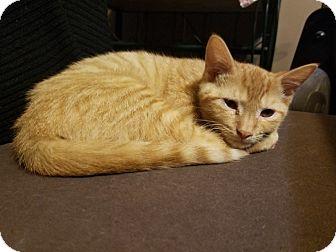 Domestic Shorthair Cat for adoption in Warren, Michigan - Pikachu (bonded w Rita Lynn)