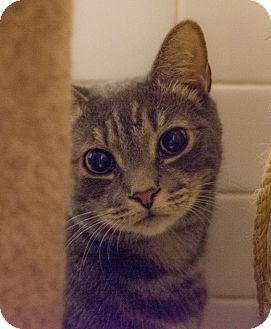 Domestic Shorthair Cat for adoption in New York, New York - Pierre