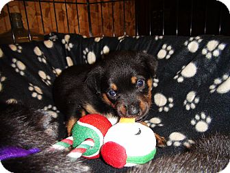 Rottweiler Mix Puppy for adoption in Gilbert, Arizona - Litter of Rottie Pups