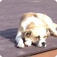 Labrador Retriever Mix Dog for adoption in San Diego, California - Ally