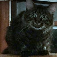 Adopt A Pet :: Gio - Palatine, IL