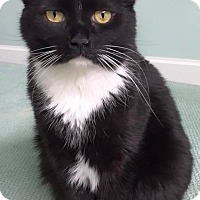Domestic Shorthair Cat for adoption in Muskegon, Michigan - TUX