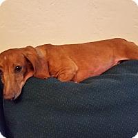 Adopt A Pet :: Buzz - Pinellas Park, FL