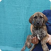 Adopt A Pet :: Tilly - Oviedo, FL