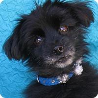 Adopt A Pet :: Ziggy - Cuba, NY