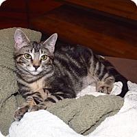 Adopt A Pet :: Cubby Bear - Arlington/Ft Worth, TX