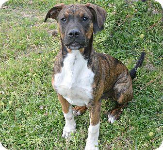 Belgian Malinois/Boxer Mix Puppy for adoption in Glastonbury, Connecticut - Jack