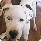 Adopt A Pet :: Capone