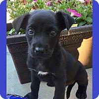 Adopt A Pet :: Davis - Little Rock, AR