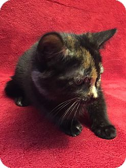 Domestic Shorthair Kitten for adoption in Miami Shores, Florida - Aria