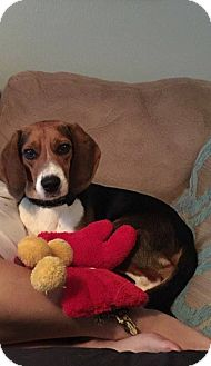 Beagle Dog for adoption in Tampa, Florida - Bronn