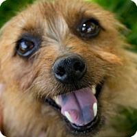 Adopt A Pet :: Ginger - Omaha, NE