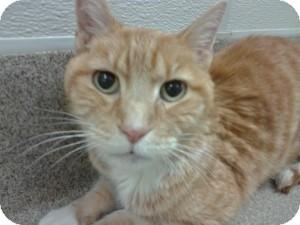 Domestic Shorthair Cat for adoption in Gilbert, Arizona - Dijon