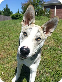 Husky/Shepherd (Unknown Type) Mix Dog for adoption in Homewood, Alabama - Wile E