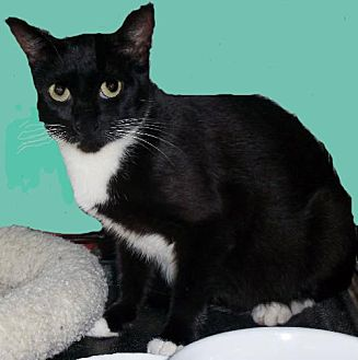 Domestic Shorthair Cat for adoption in Hampton, Virginia - LizBeth
