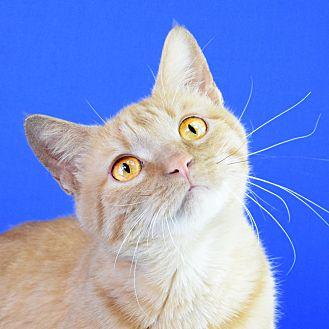 Domestic Shorthair Cat for adoption in Carencro, Louisiana - Reba