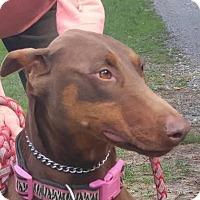 Adopt A Pet :: Venus - Brattleboro, VT