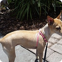 Chihuahua Dog for adoption in S. Pasedena, Florida - Rosie
