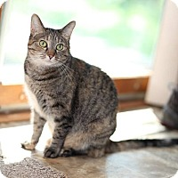 Domestic Shorthair Cat for adoption in Des Moines, Iowa - Pennie