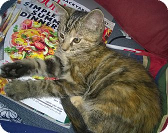 Domestic Shorthair Kitten for adoption in Wamego, Kansas - Samantha
