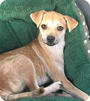Chihuahua Mix Dog for adoption in San Diego, California - Molly