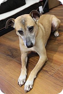 Pharaoh Hound Mix Dog for adoption in Ottawa, Ontario - Pops