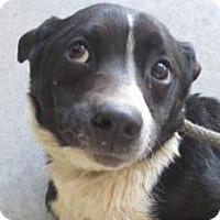 Adopt A Pet :: Pablo - Lincolnton, NC