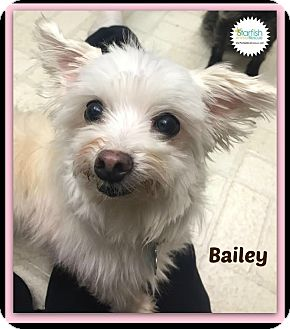 Maltese Mix Dog for adoption in Plainfield, Illinois - Bailey
