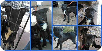Labrador Retriever/Rottweiler Mix Puppy for adoption in Scottsdale, Arizona - Jack