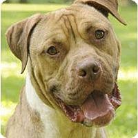 Adopt A Pet :: Atticus - Chicago, IL