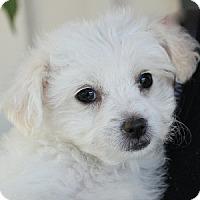 Adopt A Pet :: Beckie - La Costa, CA